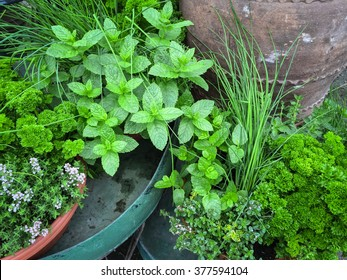 Edible green herbs. Mint, parsley, chives, thyme.