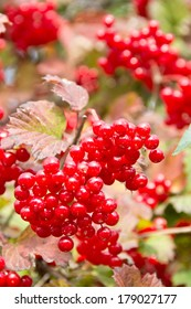 Edible high bush cranberries sparkle with ripeness in early autumn.