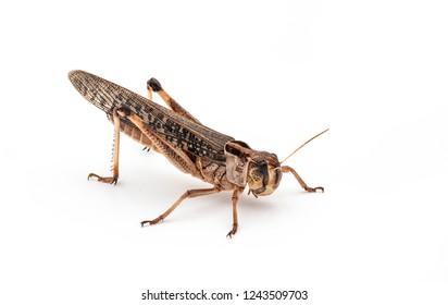 Edible insects (Locusta migratoria)