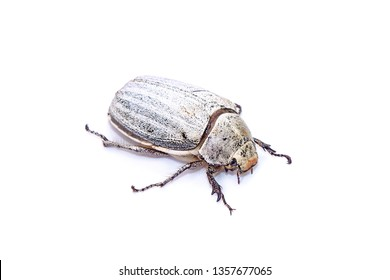 Edible insects : White grub beetle (Lepidiota stigma Fabricius), edible beetle from southern Thailand. Edible insects live in nature. Entomophagy, other natural sources of nutrients. Isolated on white
