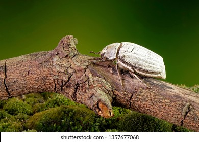 Edible insects : White grub beetle (Lepidiota stigma Fabricius), edible beetle from southern Thailand. Edible insects live in nature. Entomophagy, other natural sources of nutrients. Exotic food
