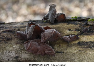 Edible mushroom Auricularia auricula-judae, known as Wood ear, Jews ear or Jelly ear on the tree in the floodplain forest. Natural environment.