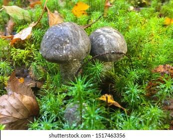 Edible Mushroom - Brown cap mushroom (blackhead mushroom) in the Forest