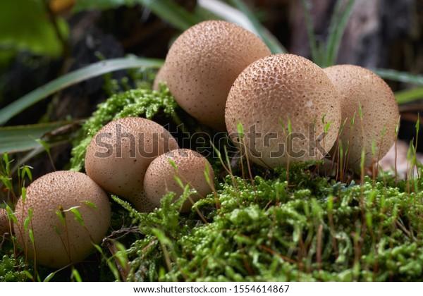 edible-mushroom-lycoperdon-pyriforme-bee