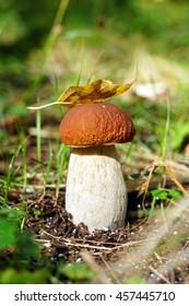 Edible mushroom  in nature Boletus (boletus edulis)