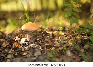 edible mushroom orange cap boletus close up in the forest with copy space