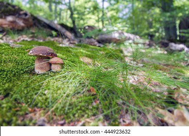 Edible Mushroom, porcini mushroom in the woods