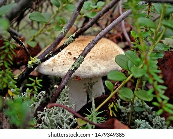 Edible mushrooms in the forest litter. Mushrooms in the forest-tundra near the town of Salekhard