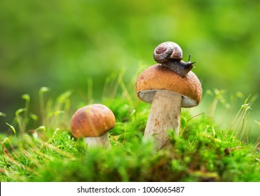 Edible mushrooms in a forest on green background, Boletus edulis