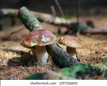 edible mushrooms growing in the forest