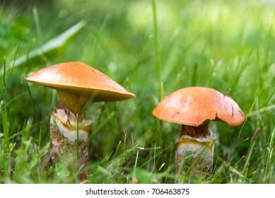 Edible mushrooms suillus in grass close up