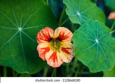 Edible nasturtium flower and leaves growing - yellow, orange, red variegated Tropaeolum blossom in garden