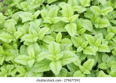 Edible Plants of fresh green mint