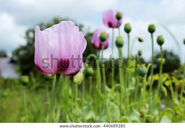 Edible poppy in the field. Blooming poppy. Pink poppy.