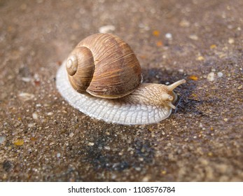 Edible snail close up from the side, on wet concrete.