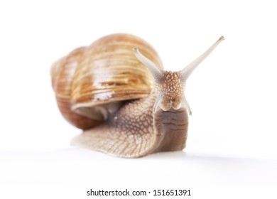 Edible Snail - Isolated on white backgrounds
