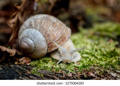Edible snail on moss on forest floor