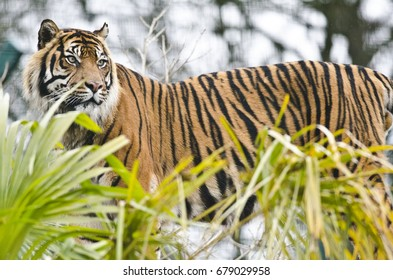 EDINBURGH - FEBRUARY 11: a Sumatran tiger at Edinburgh Zoo on February 11, 2017 in Edinburgh, Scotland. Edinburgh Zoo is the 9th most visited attraction in Scotland (source: ASVA).