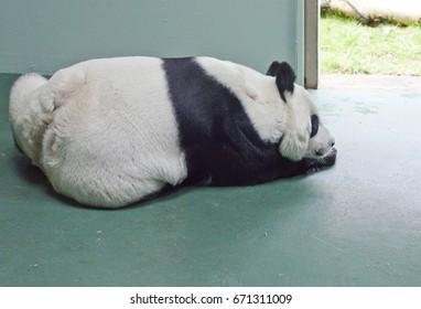 EDINBURGH - FEBRUARY 11: Tian Tian, a giant panda, at Edinburgh Zoo on February 11, 2017. Tian Tian is a major tourist attraction at Edinburgh Zoo.