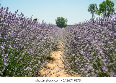 Edirne, Turkey: June 16, 2019 - People are visiting of Lavender field during city festival