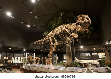 EDITORIAL, 12 July 2017, Bozeman Montana, Museum of the Rockies, Tyrannosaurus Rex Fossil Exhibit