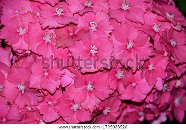Editorial image of a mass of pink Hydrangea  taken in Caerphilly,South Wales UK on 2nd August 2020