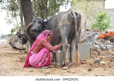 Editorial: Rajasthan, India: 11th March 2017: A Woman villager milking the buffalo, this is main way to earn livelihood for many people in India who are living in rural areas