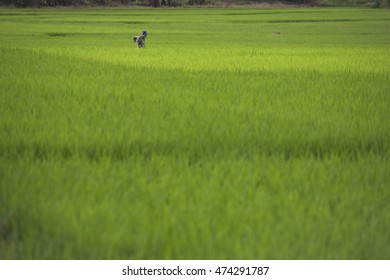 Editorial some moment with the art line of littlel road on the green cornfield or rice field with the small hut by countryside