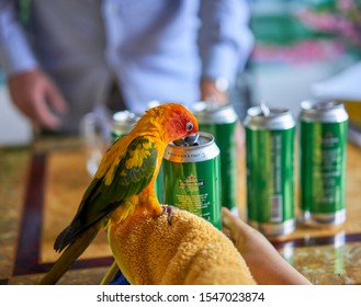 Editorial use only; a cute parrot drinking beer from a can, taken at Pathumthani, Thailand, in October 2019.
