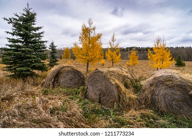 Edmonto North saskatchewan river valley city parks natural area with old hay round bails at front and yellow larch tree on the back