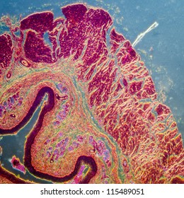 education science micrograph of medical science stratified squamous epithelium tissue cell