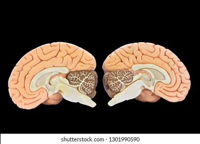 Educational models of two brain hemispheres isolated on black background