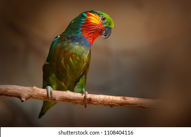 Edwards's Fig parrot, Psittaculirostris edwardsii, from humid lowland forests in north-eastern New Guinea, Asia. Parrot in the nature habitat. Lory sitting on the tree branch, green background.