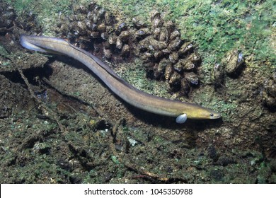Eel fish (anguilla anguilla) in the beautiful clean river. Underwater shot in the river. Wild life animal. Eel in the nature habitat with nice background.