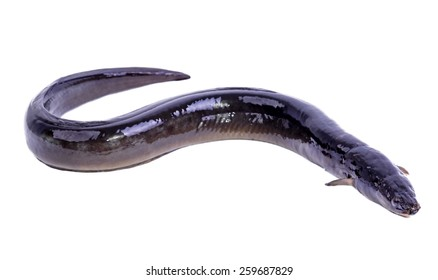Eel fish isolated on white background