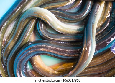 Lot of eels in the fish market in Turkey