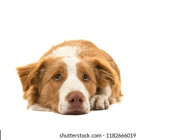 EE-red border collie dog lying down head on the floor looking up on a white background seen from the front