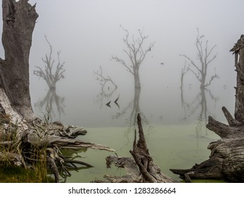 Eerie Fog on Lake Bonney with dozens of cormorants in trees. Barmera, SA