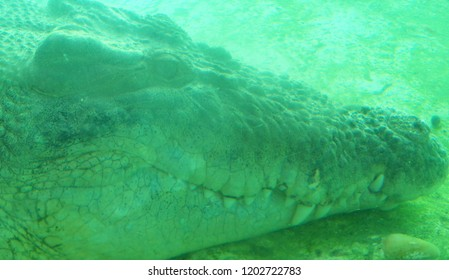 Eerie green face of a large alligator under water