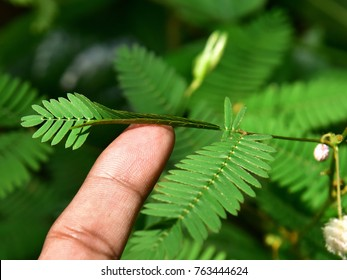 Effect of touch on the leaf of Mimosa pudica, touch-me-not, sensitive plant. Leaflets folding up upon touch.