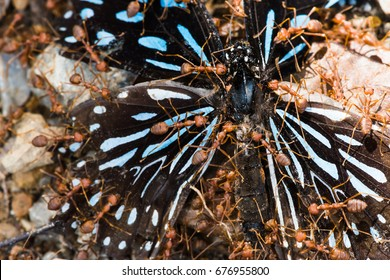 Efficiency team work, Butterfly  were swarmed by red ants (	Oecophylla smaragdina Fabricius).