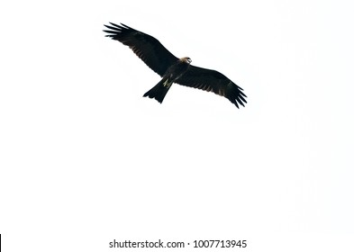 Egal bird is flying on white background