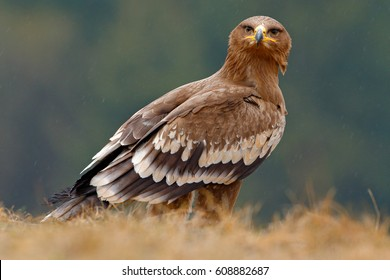Egale sitting in the grass. Steppe Eagle, Aquila nipalensis, sitting in the grass on meadow, forest in background. Wildlife scene from nature.