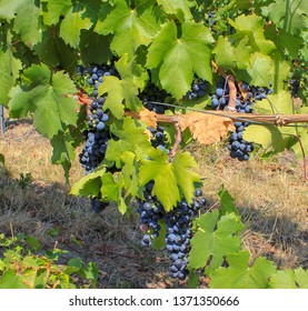 Eger, Hungary. 02.09.12. Brushes of black grapes on a vine on a Sunny day