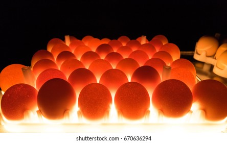 Egg candling is processed for hatchery inspection egg before hatchery and nearly have egg tray waiting check candling