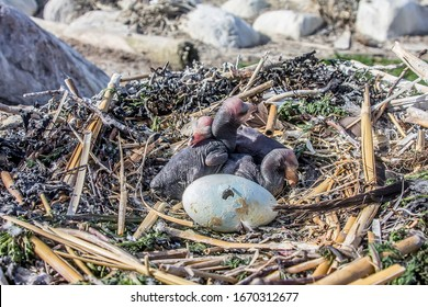 Egg and chicks of Great Cormorant in nest. The process of hatching Chicks in egg. Thus two stages of offspring development are shown