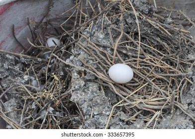 Egg of Domestic pigeon bird animal in a nest