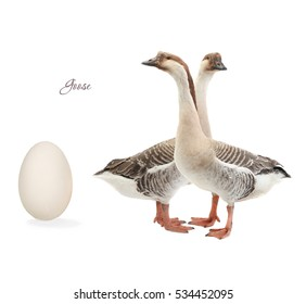 egg goose on a white background