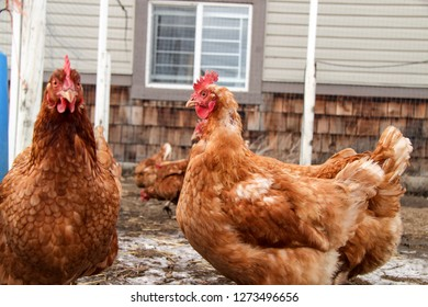 Egg Laying Chickens In Chicken Pen On Farm