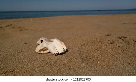 Egg of Loggerhead turtle on the beach on Cyprus